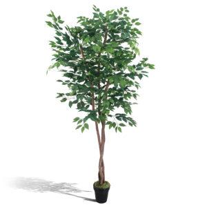 Ficus 2,10m
