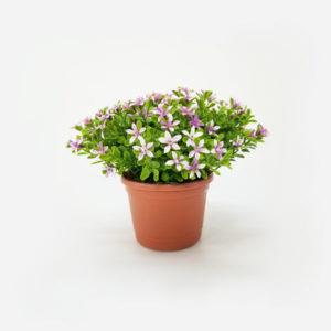 foto Arranjo Floral Artificial Kalanchoe (15cm) em vaso plástico cor terracotta